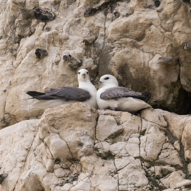 """Breeding Pair Fulmars"" stock image"