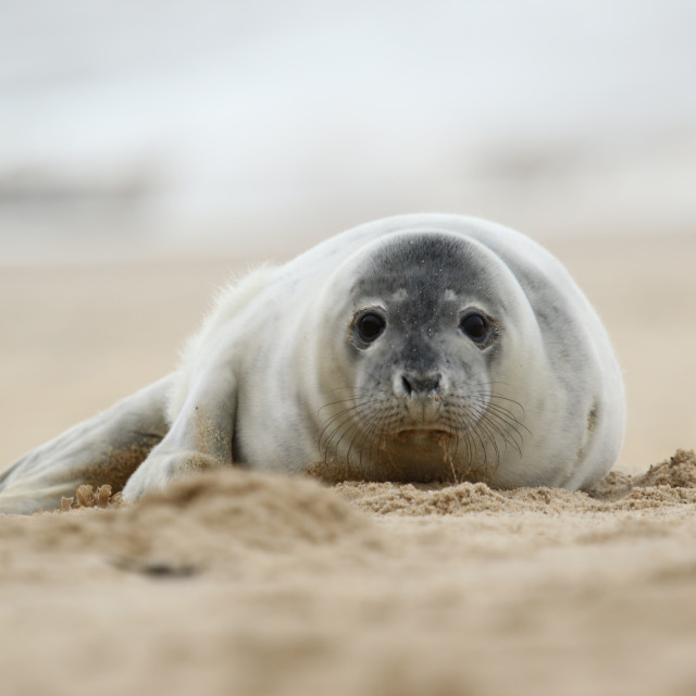 """Seal pup"" stock image"