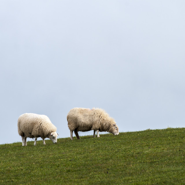 """Sheep on hillside"" stock image"