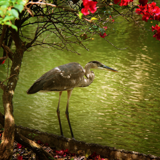 """The Blue Heron"" stock image"