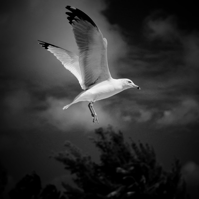 """""""Hovering Seagull"""" stock image"""