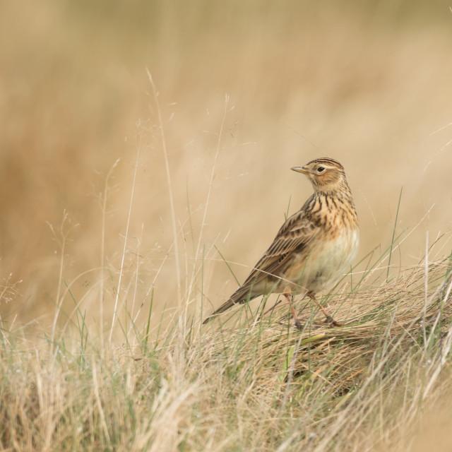 """""""Skylark in dried grass"""" stock image"""