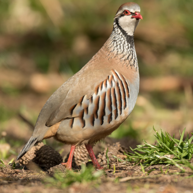 """Red-Legged Partridge"" stock image"