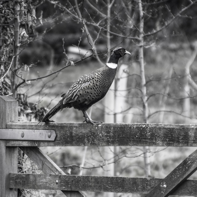 """Wild Pheasant"" stock image"