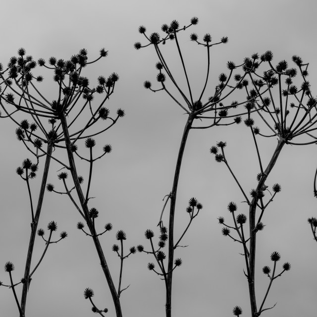 """""""Silouette Seed Pods"""" stock image"""