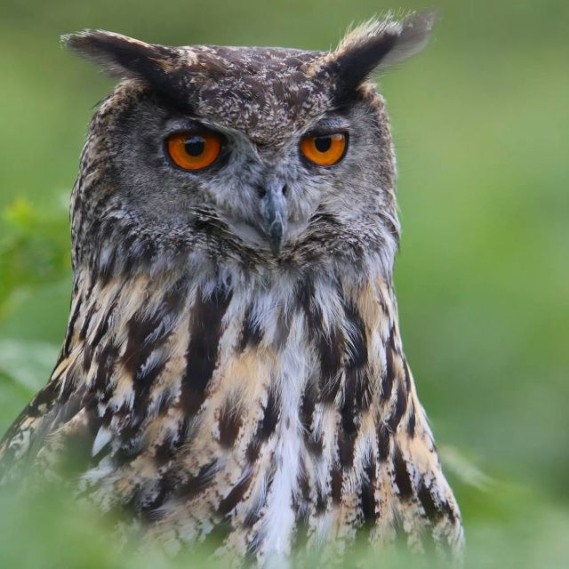 """European Eagle Owl"" stock image"