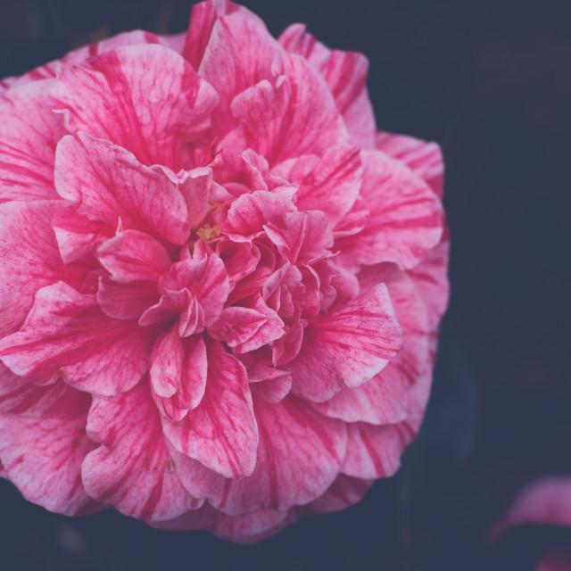 """Camellia Japonica"" stock image"