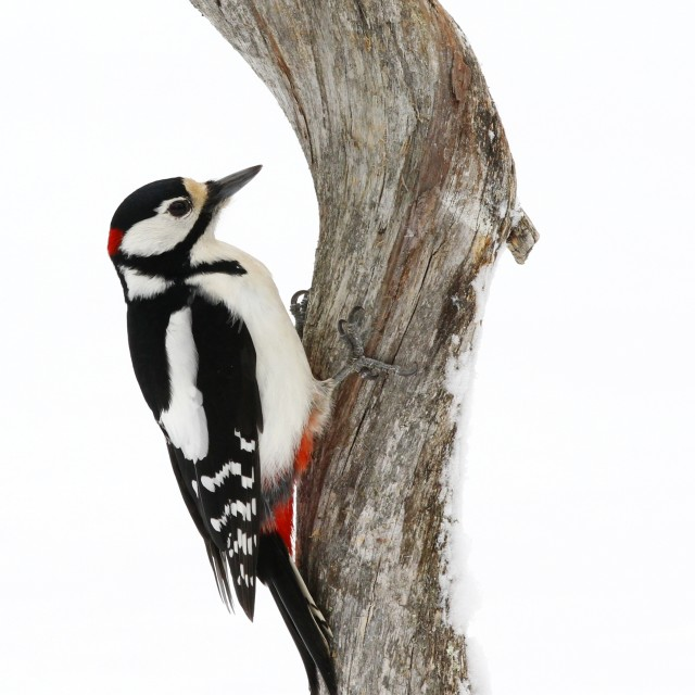 """Great spotted woodpecker"" stock image"