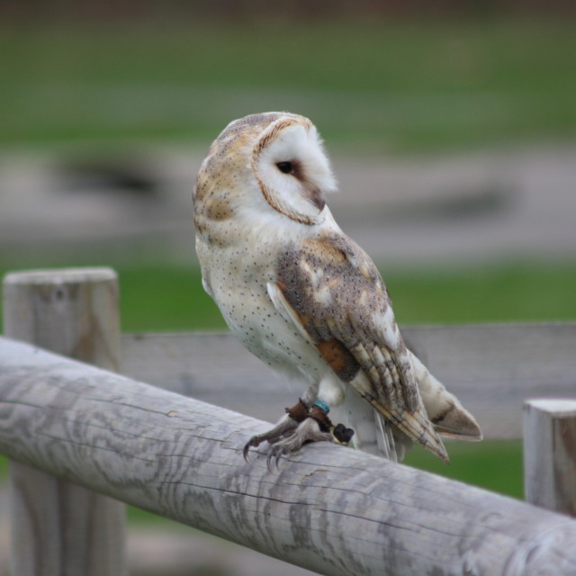 """Barn owl on the hunt"" stock image"