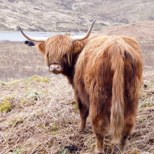 """Highland Cattle"" stock image"