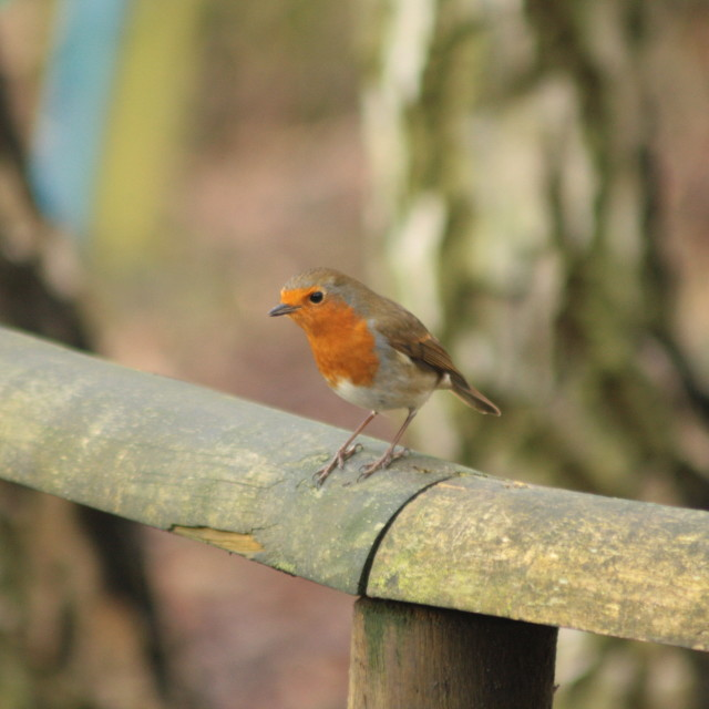 """Robin on the fence"" stock image"