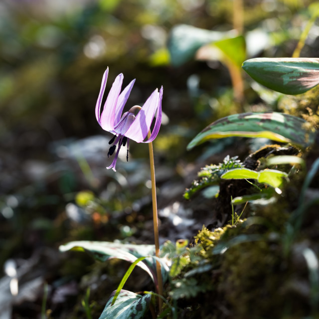 """Dogtooth violet"" stock image"