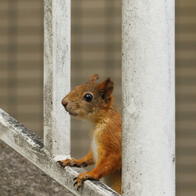 """Urban red squirrel"" stock image"