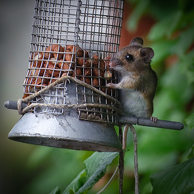 """Cheeky Mouse On a Birdfeeder"" stock image"