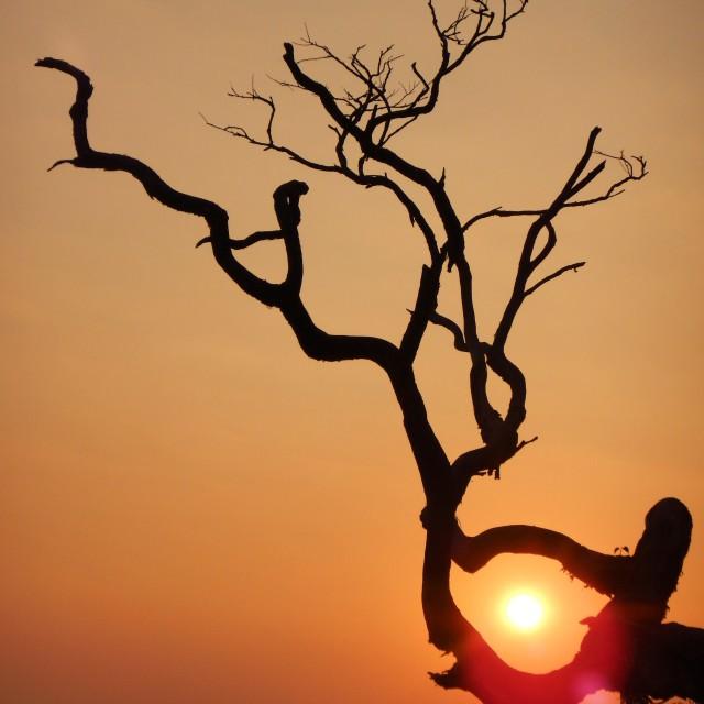 """Indian sunset through tree"" stock image"