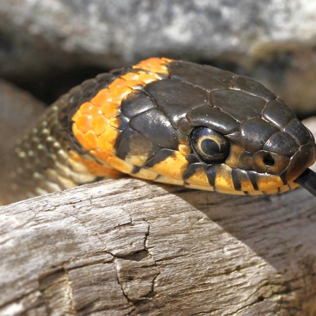 """Grass snake Natrix natrix"" stock image"