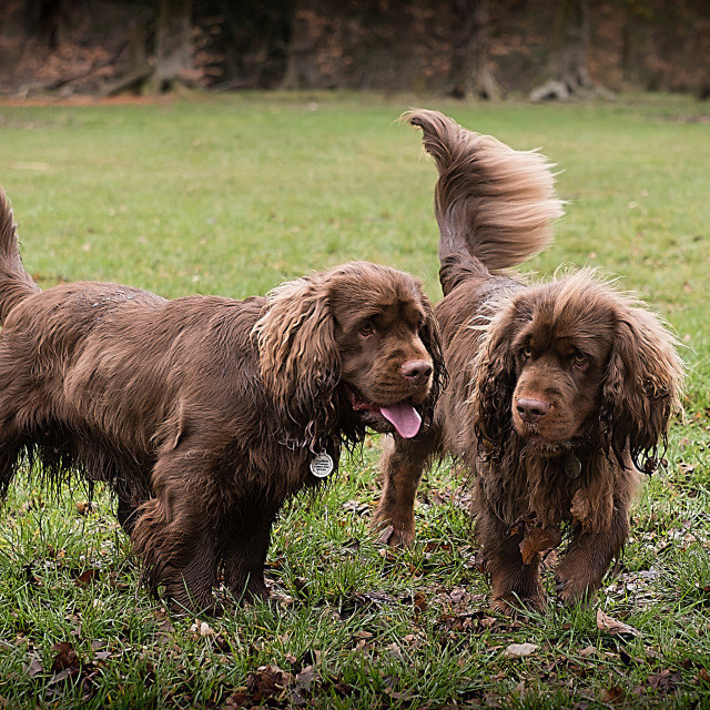 """Two Sussex Spaniels"" stock image"