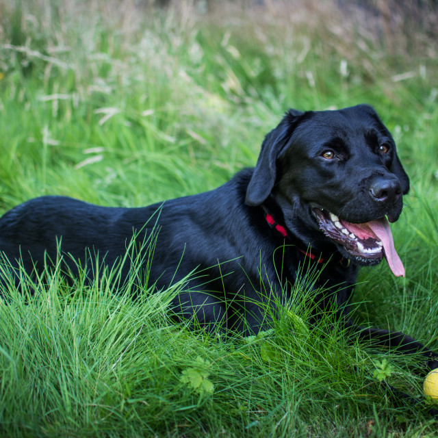 """Black Dog & Ball (Labrador)"" stock image"