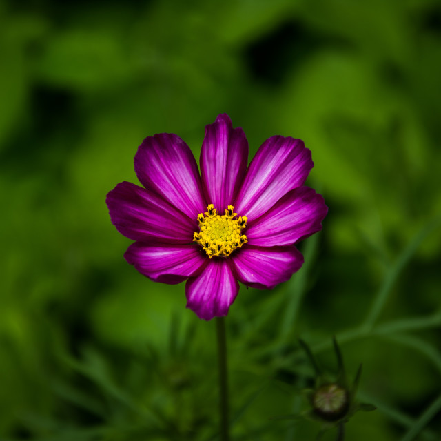 """Purple/pink Flower"" stock image"