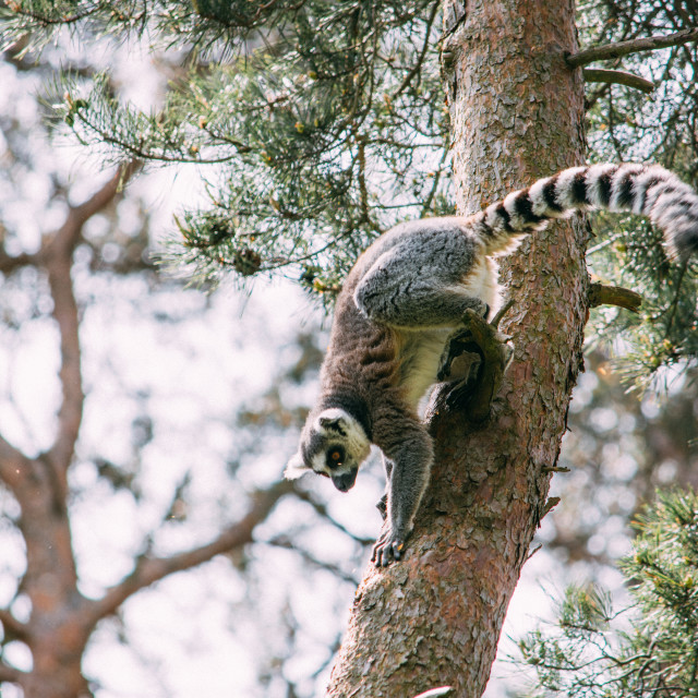 """Lemur In The Trees"" stock image"