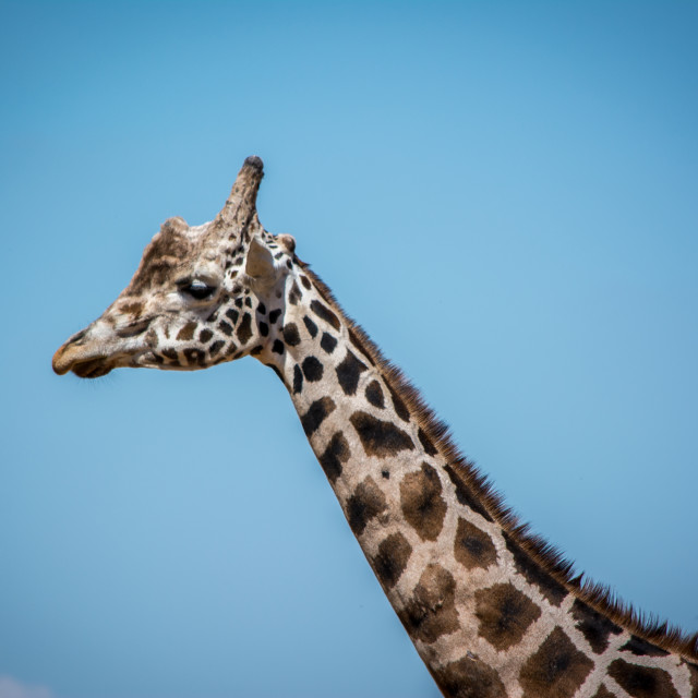 """Giraffe - Head"" stock image"