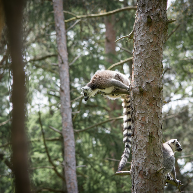 """Lemur Resting In A Tree"" stock image"