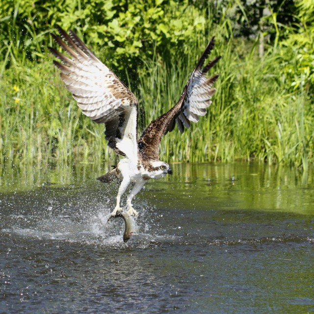 """Osprey catching fish"" stock image"