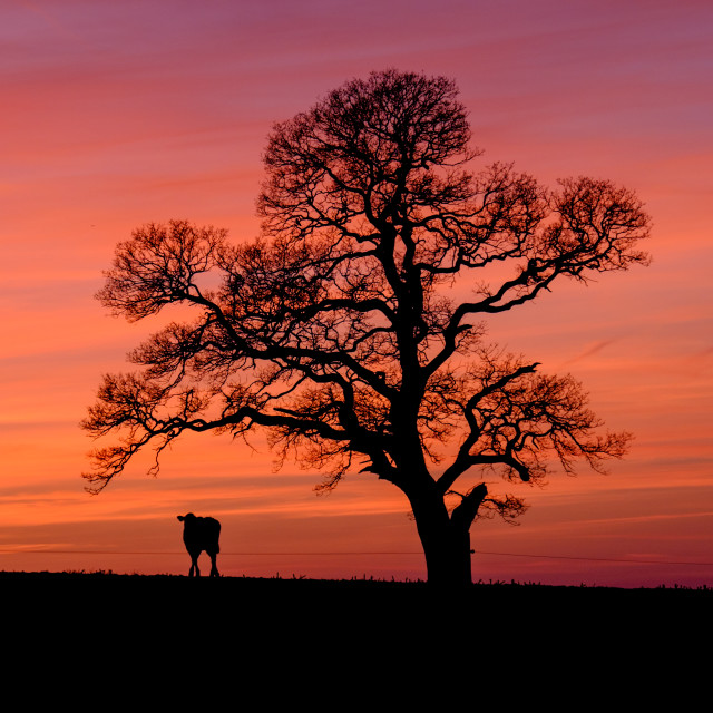 """Cow at sunset"" stock image"