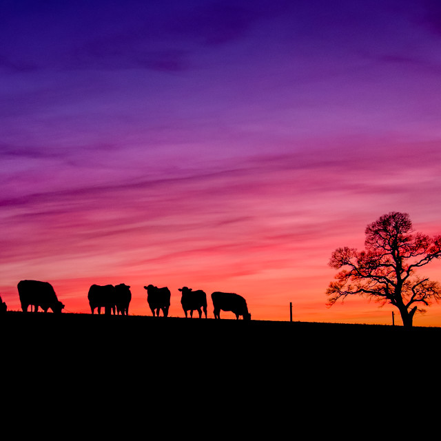 """Cows going home"" stock image"