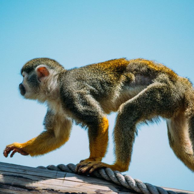 """Squirrel Monkey, On The Move"" stock image"