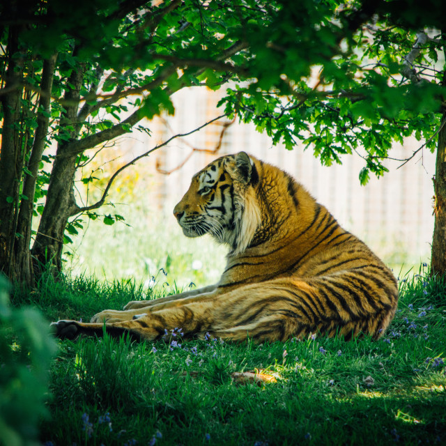 """Tiger, Resting In Shade"" stock image"