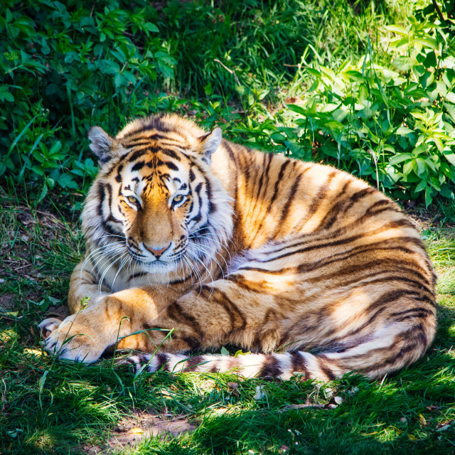 """Tiger, Resting"" stock image"