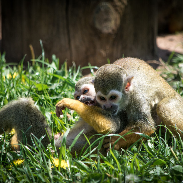 """Two Squirrel Monkeys, Play-fighting"" stock image"