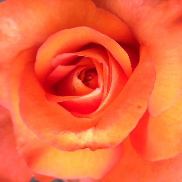"""Close up rose"" stock image"