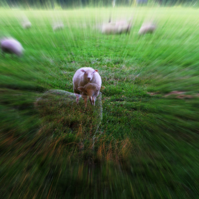 """The ghost sheep"" stock image"
