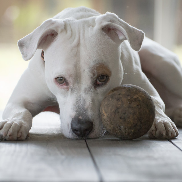 """Pit-bull and Friend"" stock image"