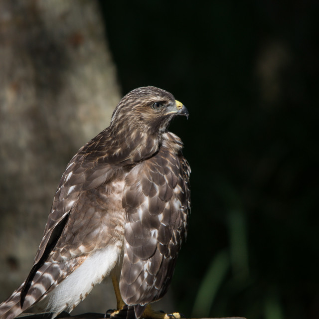 """Broad-Winged Hawk"" stock image"