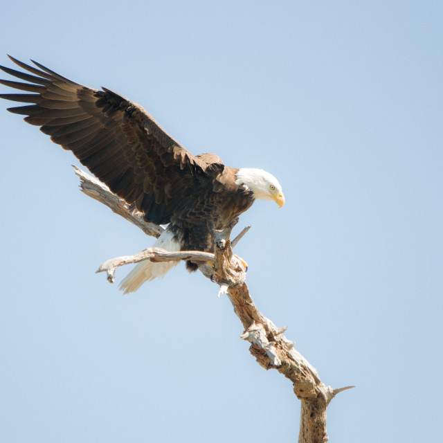 """Eagle landing on branch"" stock image"