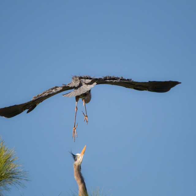 """Young Great Blue Heron landing on Sibling"" stock image"