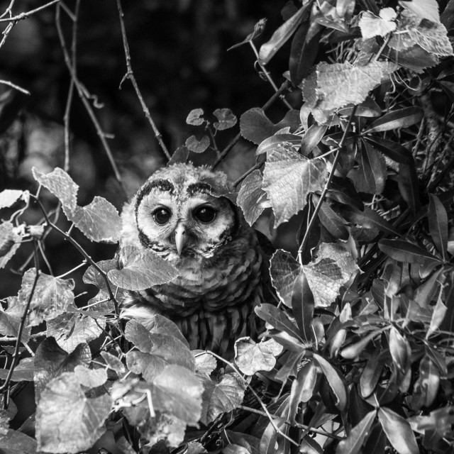 """Young Great Barred Owl"" stock image"