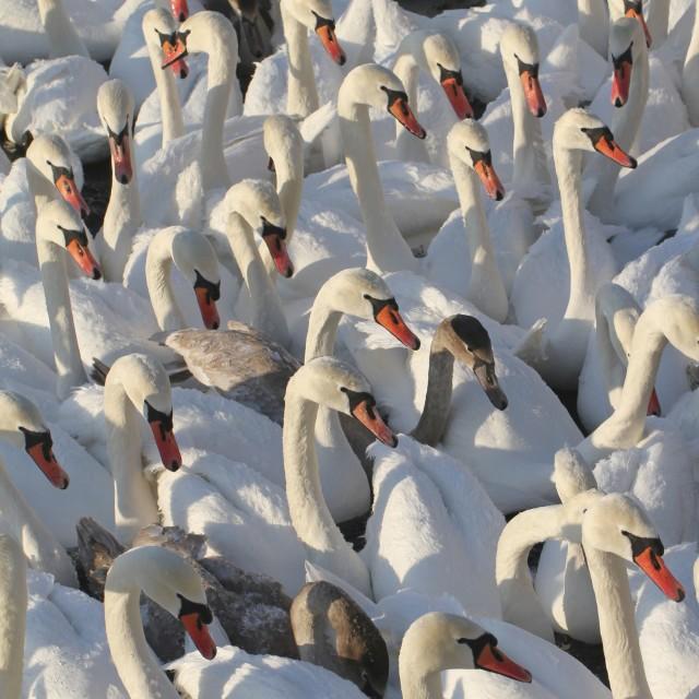 """Mute swans"" stock image"