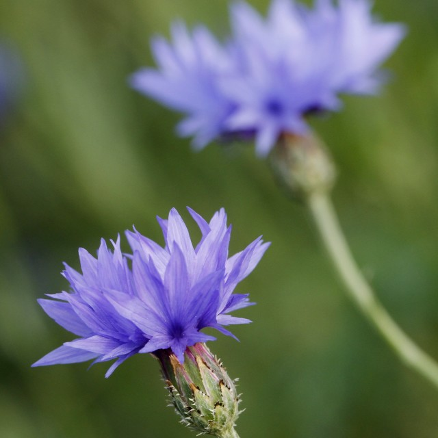 """Cornflowers"" stock image"