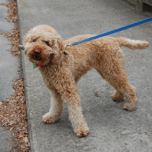 """""""A local Labradoodle"""" stock image"""