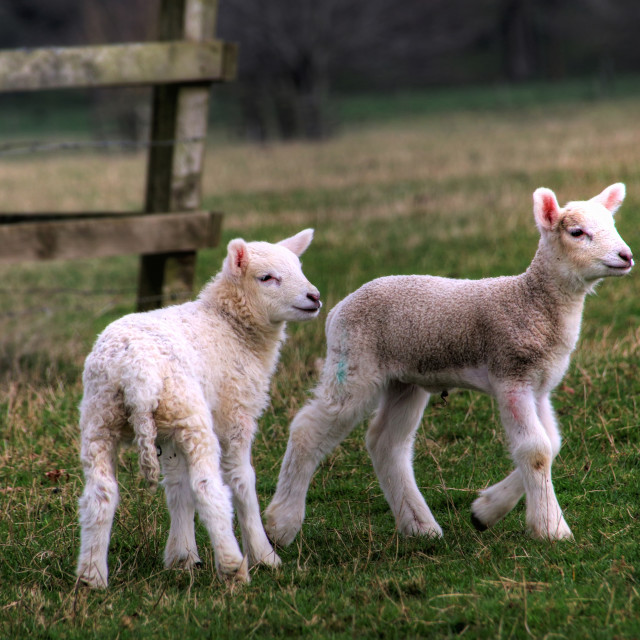 """""""A pair of spring lambs"""" stock image"""