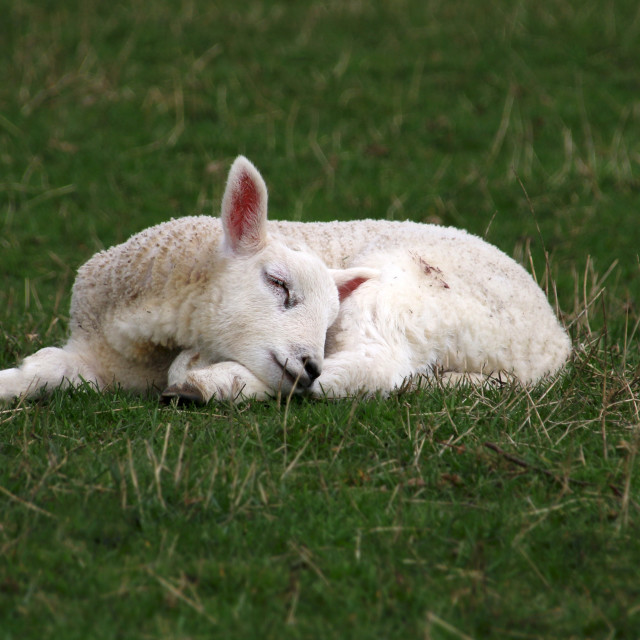 """Sleeping Lamb"" stock image"