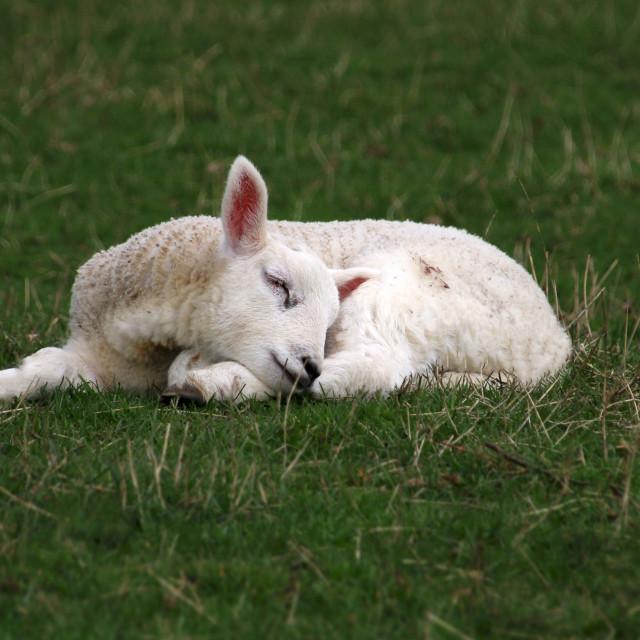 """""""Sleeping Lamb"""" stock image"""