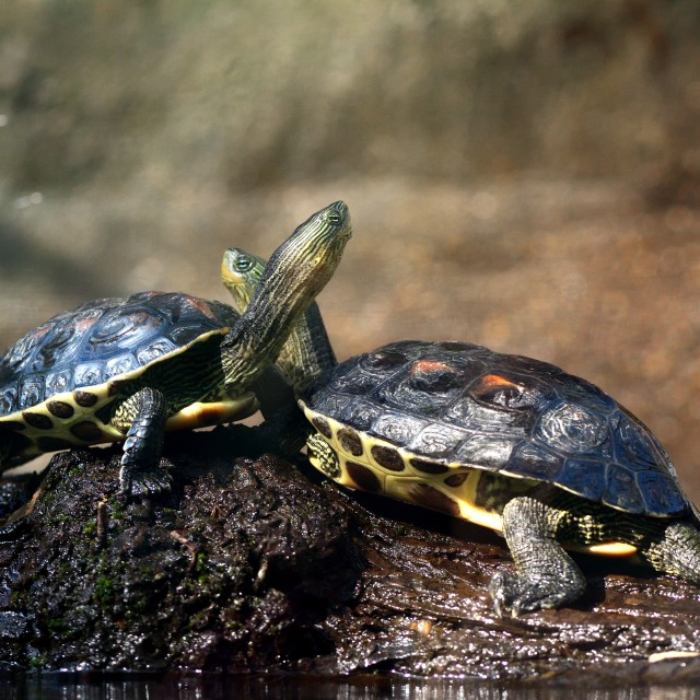 """""""Turtles Hugging"""" stock image"""