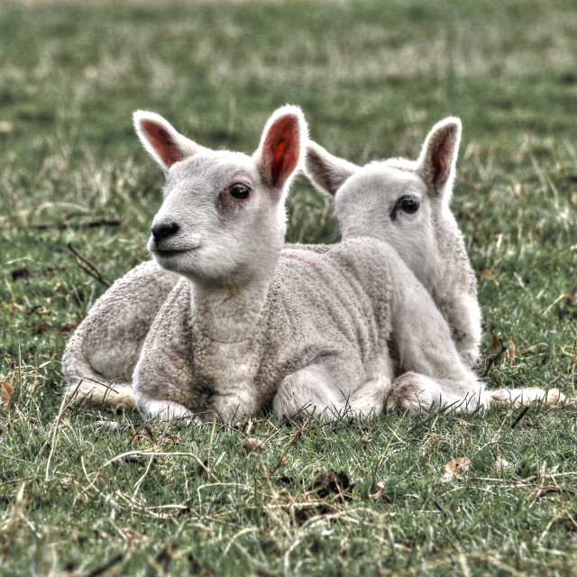 """A pair of young lambs"" stock image"