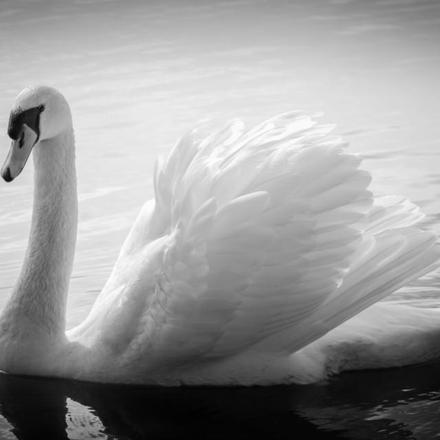 """Elegant Mute Swan"" stock image"