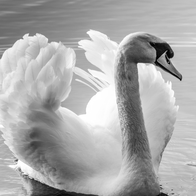 """Displaying Mute Swan"" stock image"